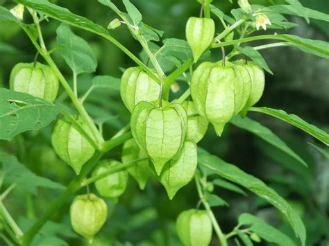manfaat khasiat daun ciplukan bagi kesehatan tubuh