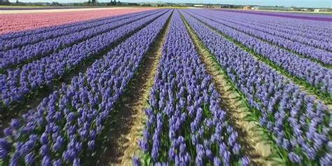 ci di fiori olanda lo spettacolo della stagione dei tulipani in olanda