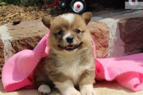 corgi puppies near me corgi puppy for sale near lancaster pennsylvania 251e42d7 5c51