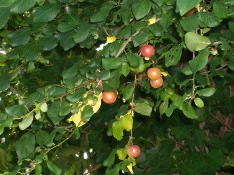 cherry plum world crops database