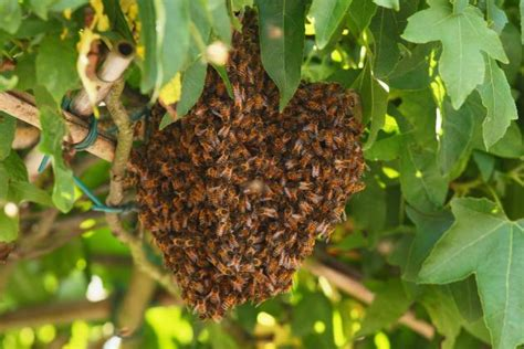 how to get rid of a swarm of bees how to get rid of bees safeguard pest