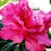 encore azalea colors pin by gotcsik on garden tips ideas