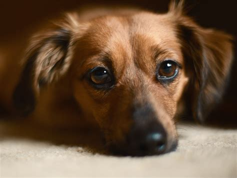 chihuahua and weiner mix chihuahua dachshund mix breed a guide to the chiweenie