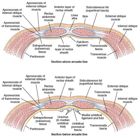transverse section of skin score search