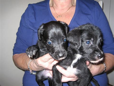 great danoodle puppies great danoodle puppies reduced chesterfield