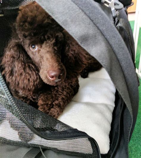 flying with a in cabin flying in cabin with a mini poodle forum standard poodle poodle
