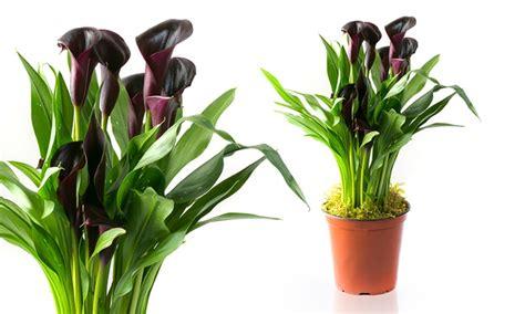 halloween black calla lily plant groupon goods