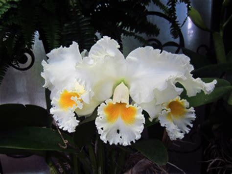 Longwood Gardens Pa by Accession Number 1966 0630 A Cattleya Grex Bow Bells July