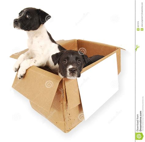 puppies in a box two puppies in a cardboard box royalty free stock images image 9237379