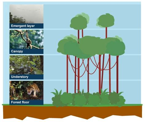 What Does Canopy In The Rainforest Diagram Of The Four Layers Of The Rainforest Forest Floor