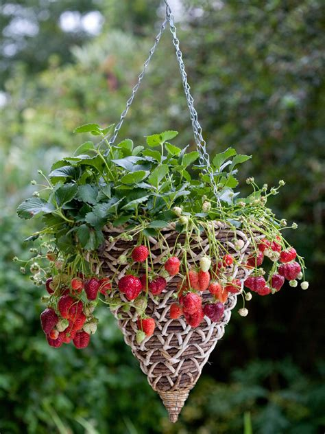 What To Plant In A Strawberry Planter by Growing Strawberries How To Plant Strawberries Hgtv