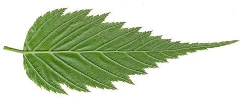 high resolution maple leaf deviantart high resolution seamless textures leaf textures