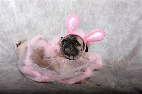 the pink pug pink pug pups