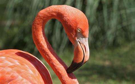 flamingos birds wallpaper flamingo bird wallpaper