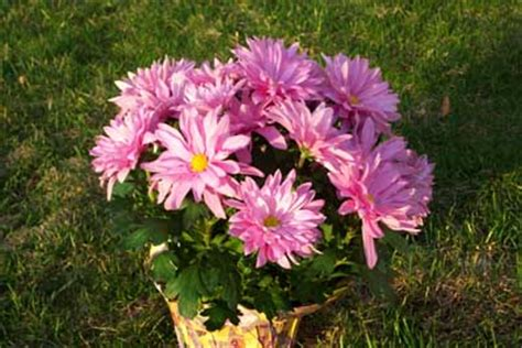 can fall mums survive frost how to grow hardy chrysanthemums growing chrysanthemum mums