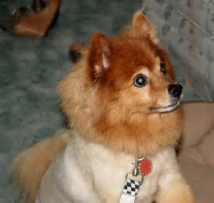seizures in pomeranians seizures in pomeranians archives