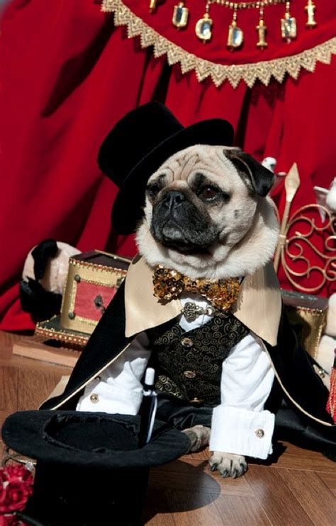 magician pug 35 sad pugs in costumes damn cool pictures