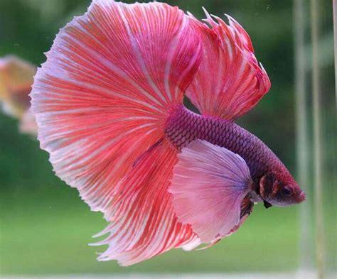 47 Best Images About Beta 134 best aquarium images on aquarium fish comet goldfish and fish aquariums