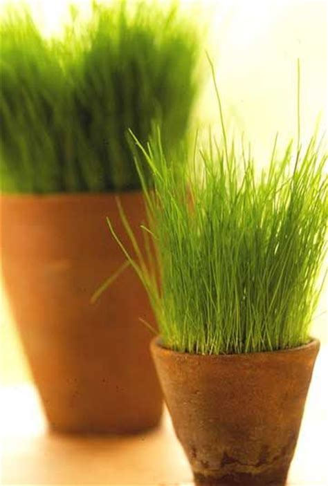 Garden Of Wheatgrass 17 Best Images About Gardening Landscaping On
