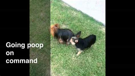 yorkie housebreaking terrier potty terrier housebreaking