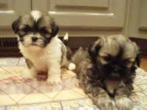 shih tzu puppies greenville sc shih tzu puppies in south carolina