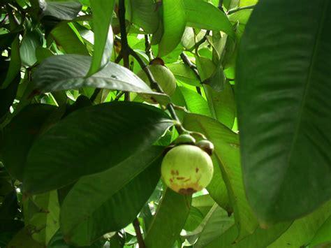 Tanaman Manggis Pohon Manggis 085894576246 cara budidaya budidaya buah manggis
