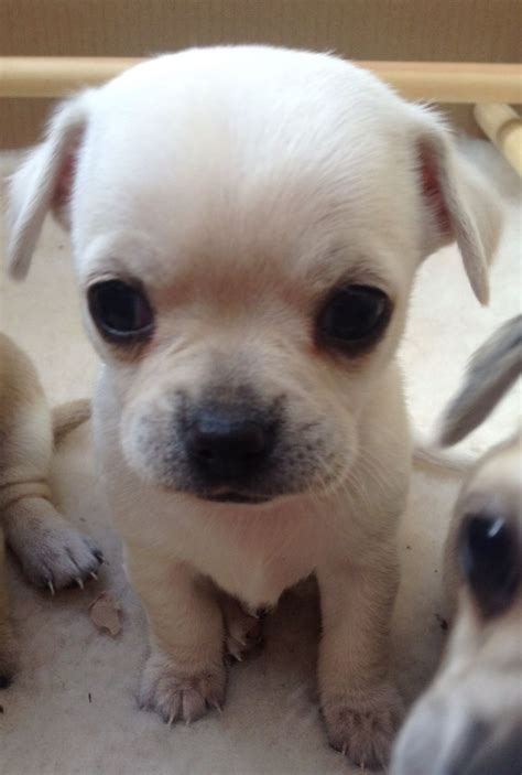 white chihuahua puppies for sale chihuahua names breeds picture