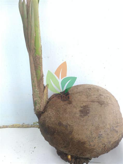 Harga Bibit Kelapa Kopyor jual bibit kelapa kopyor unggul