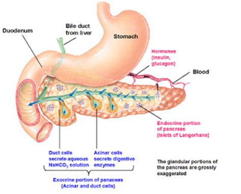 pancreatitis diagram cancers pancreas diagram
