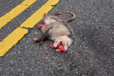 how do you a to play dead image gallery dead possum