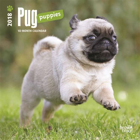 buy a pug puppy pug puppies mini calendar 2018 calendar club uk