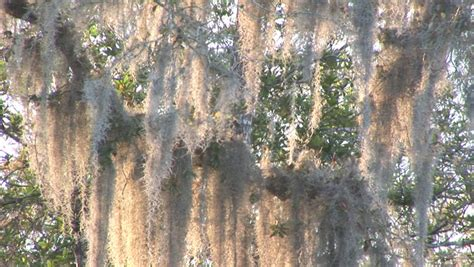 swings life style spanish moss footage page 4 stock clips