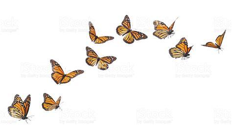 imagenes de mariposas en vuelo monarch borboletas voando em v 225 rias posi 231 245 es isolada no