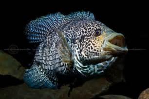 Jaguar Fish Jaguar Cichlid Jaguar Cichlid