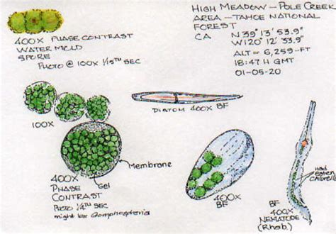 labelled diagram of chlorella the gallery for gt volvox microscope slide