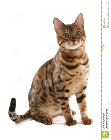 rosetted bengal cat stock photo image of cutout portrait