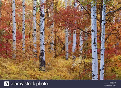 file autumn rocky mountain maple populus tree stock photos populus tree stock images alamy