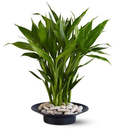 feng shui bamboo plant in bedroom feng shui indoor plants www nicespace me