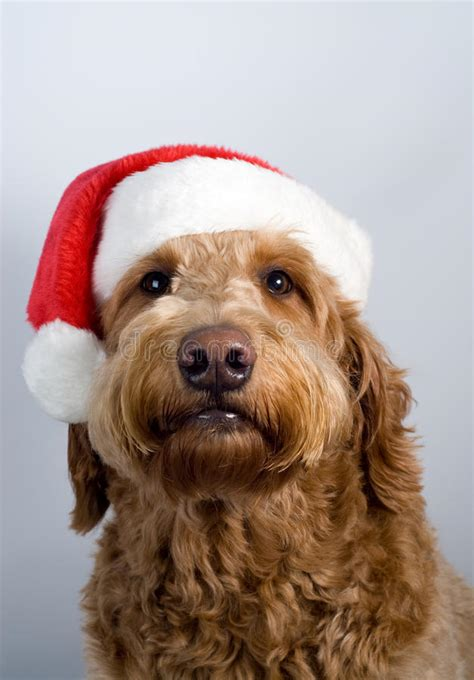 golden doodle dog santa hat stock photo image  background puppy