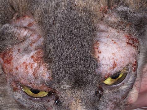 intolleranza alimentare gatto allergie alimentari nei gatti come si manifestano e come