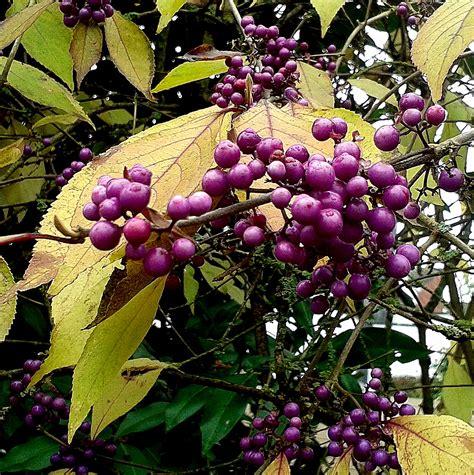 liebesperlenstrauch giftig chinesische sch 246 nfrucht philipp elph