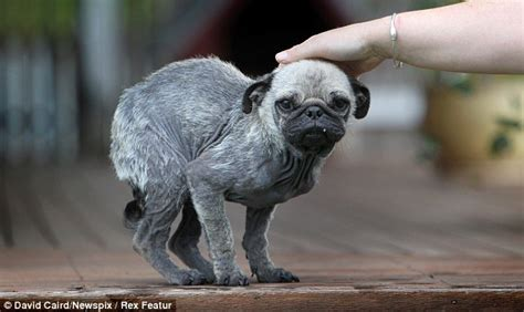 bald pug pug addict adorable gets a new home after being rescued from cruel owners who