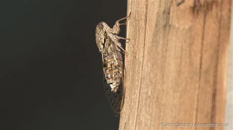 cicada john caddick john caddick