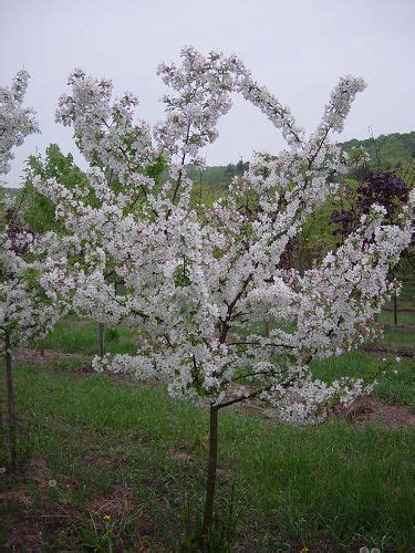 cross pollination fruit trees cross pollination chart for fruit trees outdoors