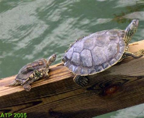 texas map turtles photo gallery