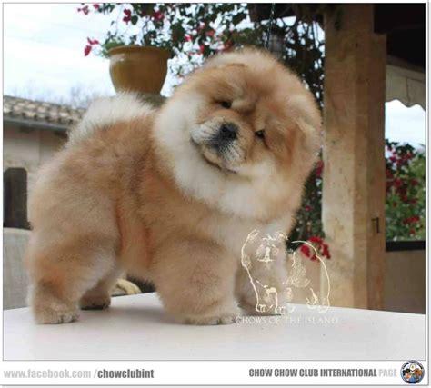 imagenes tiernas xd chow chow club international xd pinterest mascotas