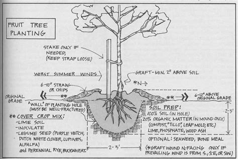 fruit tree planting guide care and planting of bareroot fruit trees