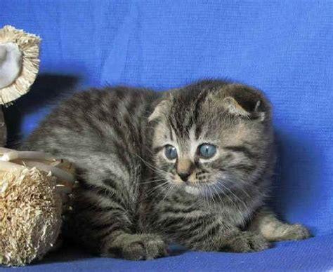 gatto da appartamento razza razze gatti highland fold