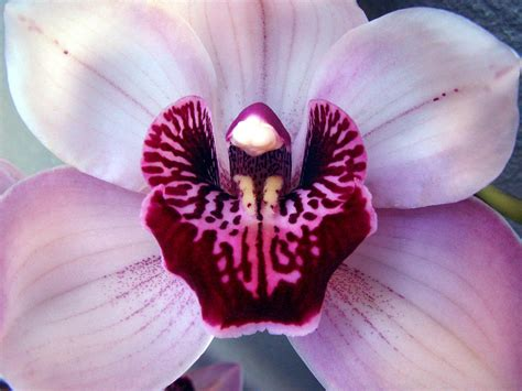 cataleya orchid by sunilk2020 on deviantart