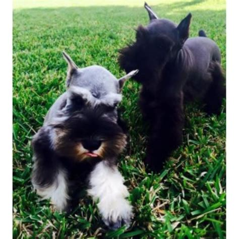 miniature schnauzer puppies florida reberstein s miniature schnauzers miniature schnauzer breeder in branfon florida